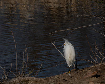Photograph - Snowy Egret Colorado by Ernie Echols