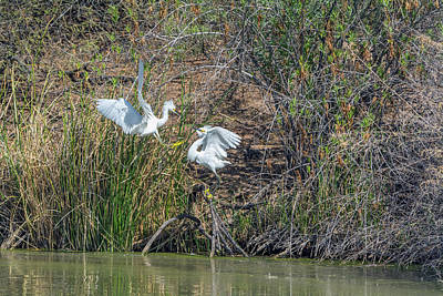 Photograph - Snowy Egret Confrontation 8664-022018-1 by Tam Ryan