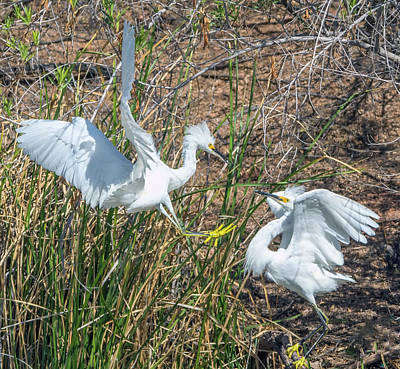 Photograph - Snowy Egret Confrontation 8664-022018-1cr by Tam Ryan