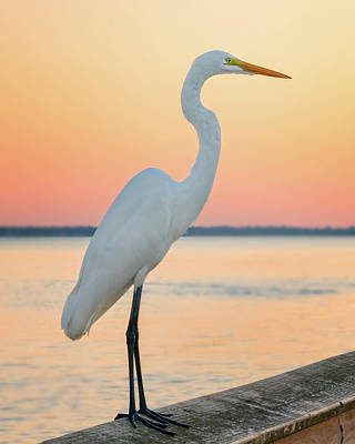 Photograph - Snowy Egret by Darylann Leonard Photography