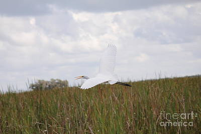 Photograph - Snowy Egret by David Grant