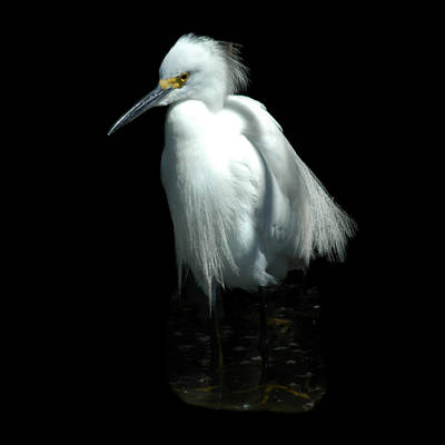 Photograph - Snowy Egret by David Weeks