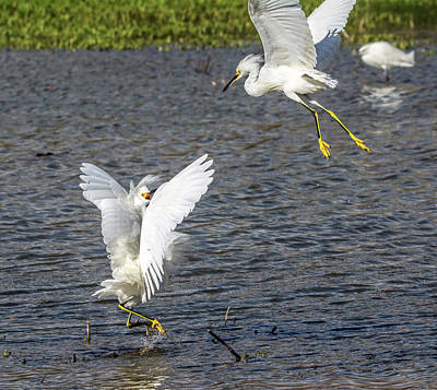 Photograph - Snowy Egret Fight 8131-021918-1cr by Tam Ryan