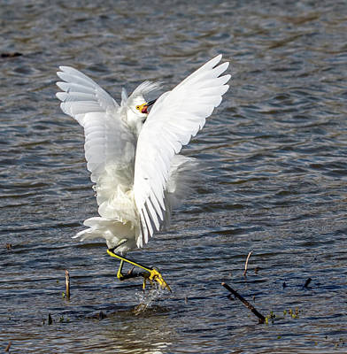 Photograph - Snowy Egret Fight 8131-021918-2cr by Tam Ryan