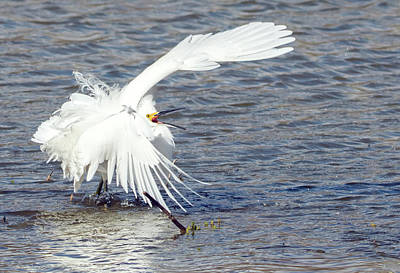 Photograph - Snowy Egret Fight 8132-021918-2cr by Tam Ryan