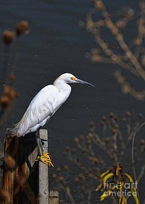 Photograph - Snowy Egret Fishing Hole by Sharon Woerner