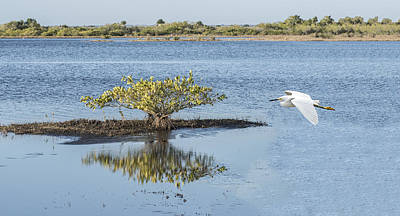 Photograph - Snowy Egret Flying Across A Marsh by William Bitman