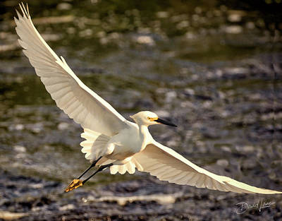 Photograph - Snowy Egret Flying by David A Lane