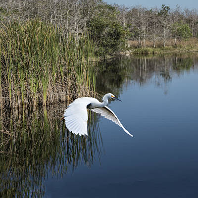 Photograph - Snowy Egret Flying Over Blue Lake by William Bitman