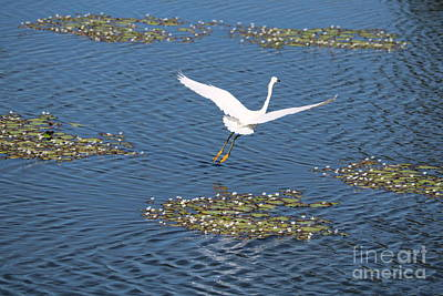 Photograph - Snowy Egret Flying Over Blue Pond And Lily Pads by Carol Groenen