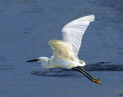 Photograph - Snowy Egret Flying by William Bitman