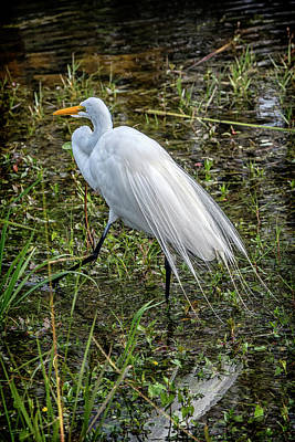Photograph - Snowy Egret Ft Myers Florida Dsc01107_16 by Greg Kluempers