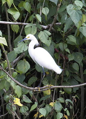 Photograph - Snowy Egret by Georgia Hamlin