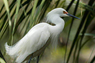 Photograph - Snowy Egret by Gregg Southard