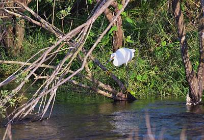 Photograph - Snowy Egret Hunting by Warren Thompson