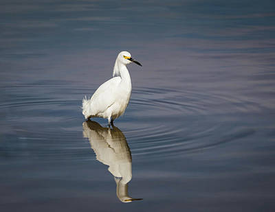 Photograph - Snowy Egret-img_479418 by Rosemary Woods-Desert Rose Images