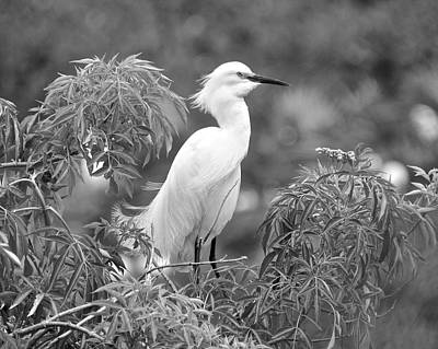 Photograph - Snowy Egret In Black And White by Carol Bradley