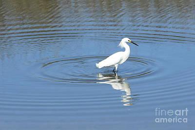 Photograph - Snowy Egret In Blue Water by Carol Groenen