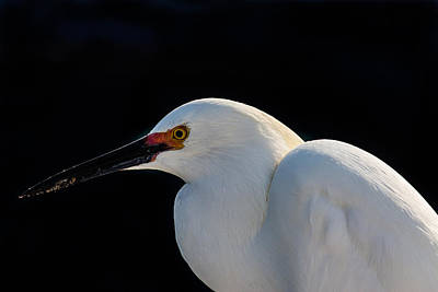 Photograph - Snowy Egret In Breeding Colors by Richard Goldman