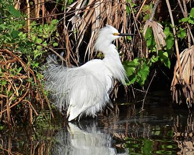 Photograph - Snowy Egret In Breeding Plumage And Color by Carol Bradley