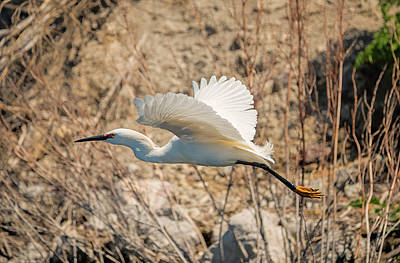 Photograph - Snowy Egret In Breeding Plumage by Loree Johnson