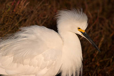 Photograph - Snowy Egret In Breeding Plumage by Ram Vasudev