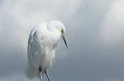 Photograph - Snowy Egret In Clouds by Fraida Gutovich
