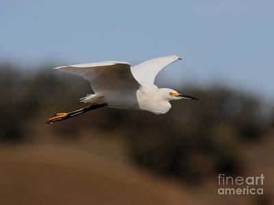 Bif Photograph - Snowy Egret In Flight 2 by Wingsdomain Art and Photography
