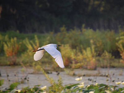 Photograph - Snowy Egret In Flight by rd Erickson