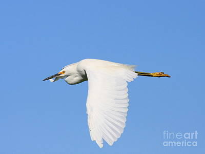 Bif Photograph - Snowy Egret In Flight by Wingsdomain Art and Photography