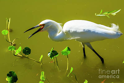 Photograph - Snowy Egret In Florida by Ben Graham