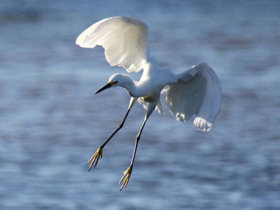 Photograph - Snowy Egret In For A Landing by Mercedes Martishius