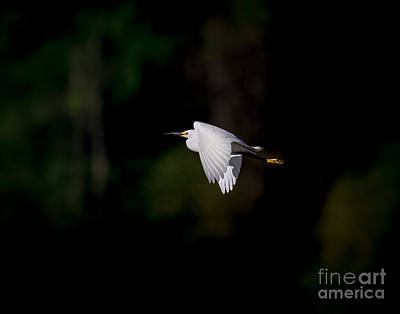 White River Photograph - Snowy Egret In Light by Robert Frederick
