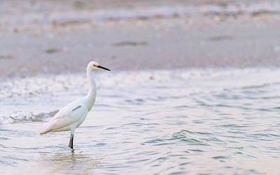 Photograph - Snowy Egret In Sunset Light by Framing Places