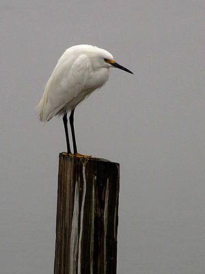 Photograph - Snowy Egret In The Fog  by Chris Mercer