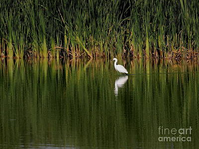 Photograph - Snowy Egret In The Marsh by Wingsdomain Art and Photography