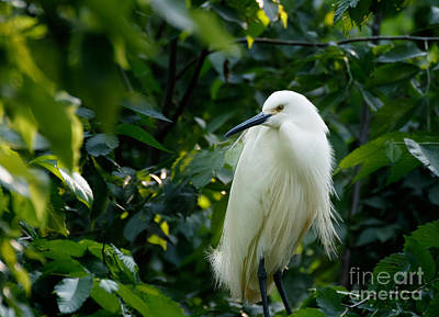 Snowy Egret In The Trees Art Print
