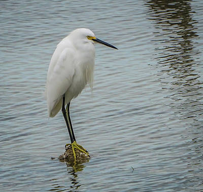 Photograph - Snowy Egret by Jane Luxton