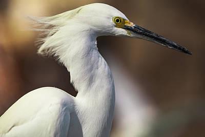 Photograph - Snowy Egret by Jason Moynihan