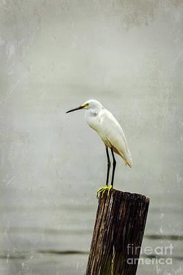 Photograph - Snowy Egret by Joan McCool