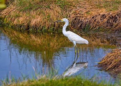 Wildlife Photograph - Snowy Egret by John M Bailey
