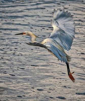 Photograph - Snowy Egret Landing by David A Lane