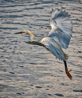 Photograph - Snowy Egret Landing by David A Lane