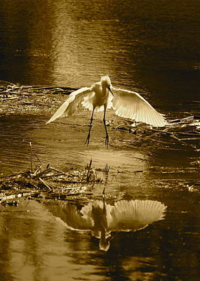 Reflection On Pond Photograph - Snowy Egret Landing With Golden Tones by Carol Groenen