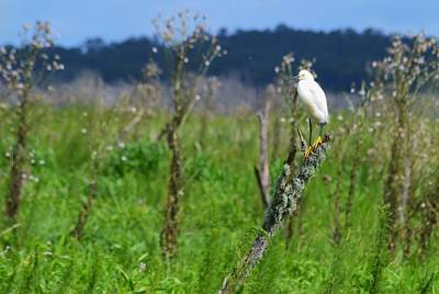 Photograph - Snowy Egret Landscape by Warren Thompson
