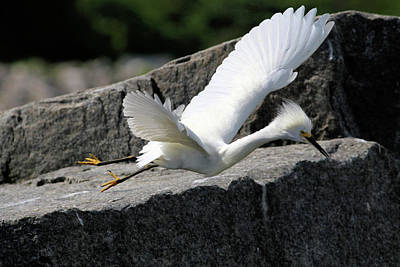 Photograph - Snowy Egret Launches Itself by Carol Montoya