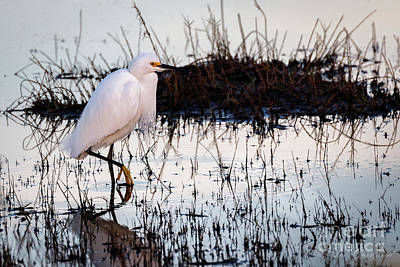 Photograph - Snowy Egret by Les Greenwood