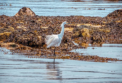Photograph - Snowy Egret by Lilia D