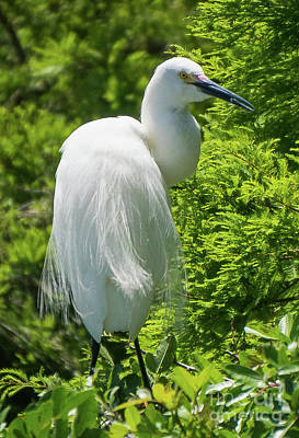 Photograph - Snowy Egret Looking Back by Vincent Billotto