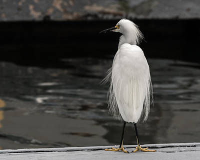 Photograph - Snowy Egret Looking For Next Meal by Ernie Echols